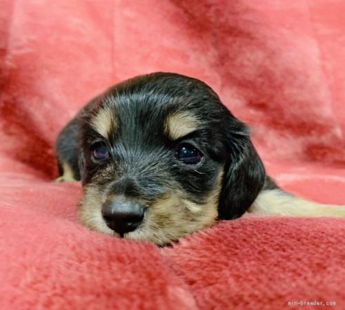 ミニチュアダックスフンド(ロング)の子犬(ID:1241011089)の2枚目の写真/更新日:2020-07-04