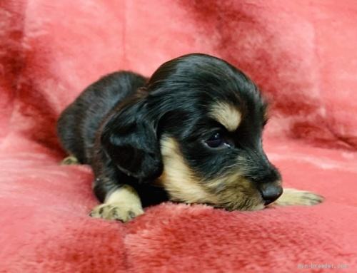 ミニチュアダックスフンド(ロング)の子犬(ID:1241011089)の3枚目の写真/更新日:2020-07-04