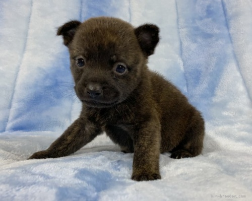 甲斐犬の子犬(ID:1241011106)の1枚目の写真/更新日:2021-03-29
