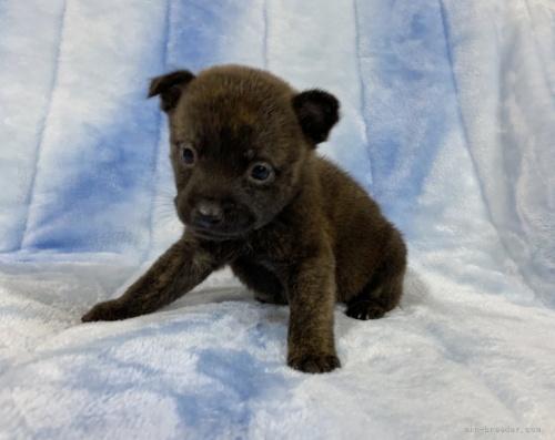 甲斐犬の子犬(ID:1241011106)の2枚目の写真/更新日:2021-03-29
