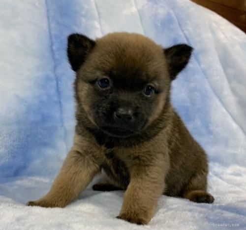甲斐犬の子犬(ID:1241011109)の1枚目の写真/更新日:2021-04-12