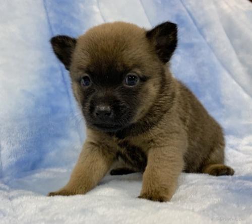 甲斐犬の子犬(ID:1241011109)の2枚目の写真/更新日:2021-04-12