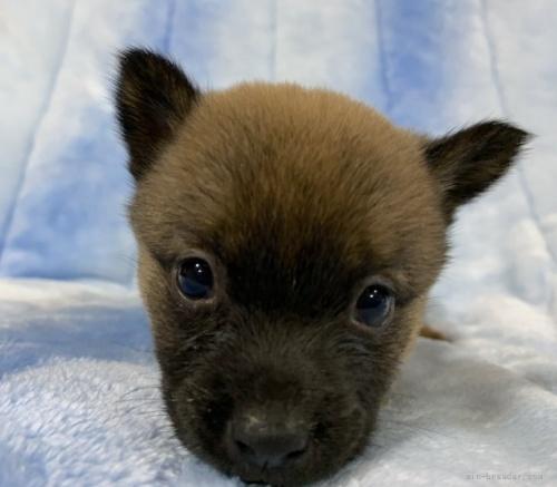 甲斐犬の子犬(ID:1241011109)の4枚目の写真/更新日:2021-04-12