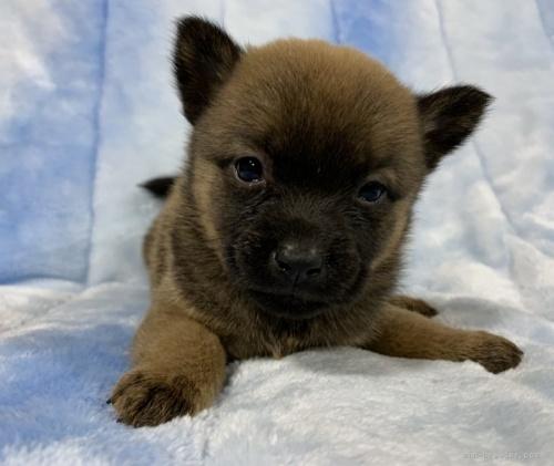 甲斐犬の子犬(ID:1241011109)の5枚目の写真/更新日:2021-04-12