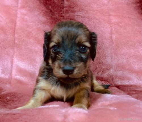 ミニチュアダックスフンド(ロング)の子犬(ID:1241011117)の2枚目の写真/更新日:2021-05-01