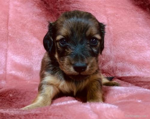 ミニチュアダックスフンド(ロング)の子犬(ID:1241011117)の3枚目の写真/更新日:2021-05-01
