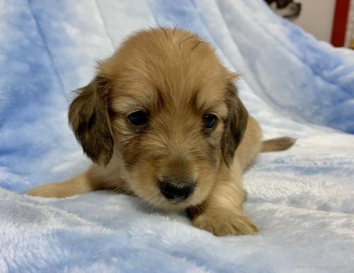 ミニチュアダックスフンド(ロング)の子犬(ID:1241011118)の1枚目の写真/更新日:2021-05-01