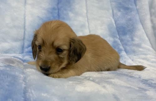 ミニチュアダックスフンド(ロング)の子犬(ID:1241011118)の2枚目の写真/更新日:2021-05-01