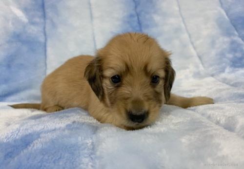 ミニチュアダックスフンド(ロング)の子犬(ID:1241011118)の3枚目の写真/更新日:2021-05-01