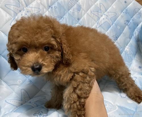 トイプードルの子犬(ID:1241011234)の4枚目の写真/更新日:2021-05-01