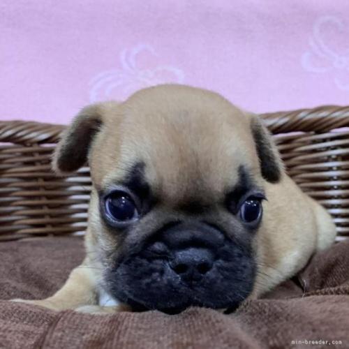 フレンチブルドッグの子犬(ID:1241011241)の1枚目の写真/更新日:2021-07-09