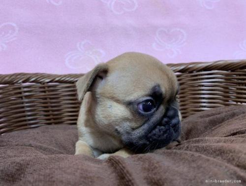 フレンチブルドッグの子犬(ID:1241011241)の2枚目の写真/更新日:2021-07-09