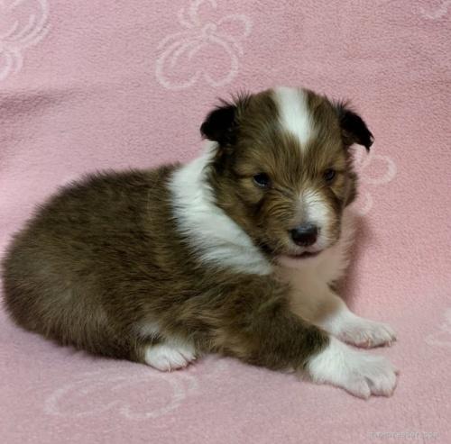 シェットランドシープドッグの子犬(ID:1241011243)の2枚目の写真/更新日:2020-02-10