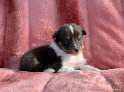 シェットランドシープドッグの子犬(ID:1241011245)の2枚目の写真/更新日:2020-02-10