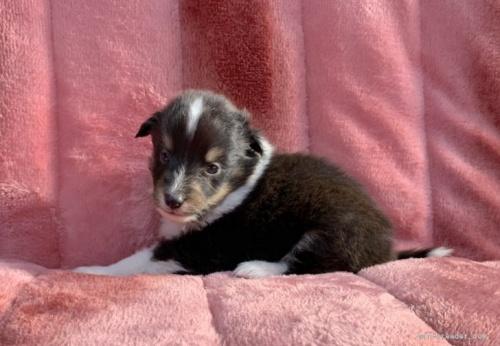 シェットランドシープドッグの子犬(ID:1241011245)の3枚目の写真/更新日:2021-01-19