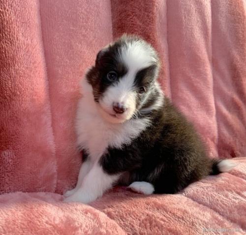 シェットランドシープドッグの子犬(ID:1241011246)の1枚目の写真/更新日:2020-02-10