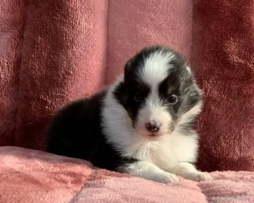 シェットランドシープドッグの子犬(ID:1241011246)の2枚目の写真/更新日:2020-02-10