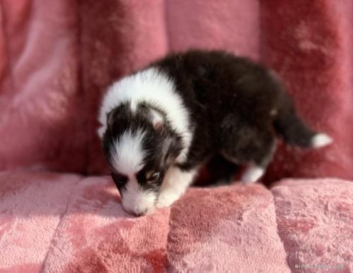 シェットランドシープドッグの子犬(ID:1241011246)の3枚目の写真/更新日:2021-01-19