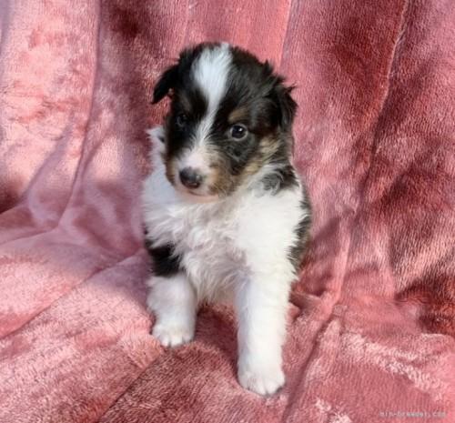 シェットランドシープドッグの子犬(ID:1241011247)の3枚目の写真/更新日:2020-02-10