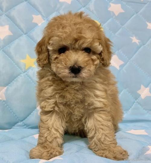 トイプードルの子犬(ID:1241011249)の2枚目の写真/更新日:2021-02-16