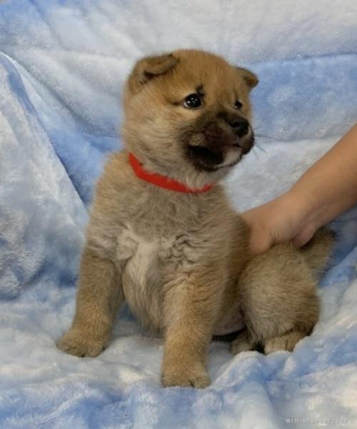柴犬の子犬(ID:1241011255)の2枚目の写真/更新日:2021-02-19