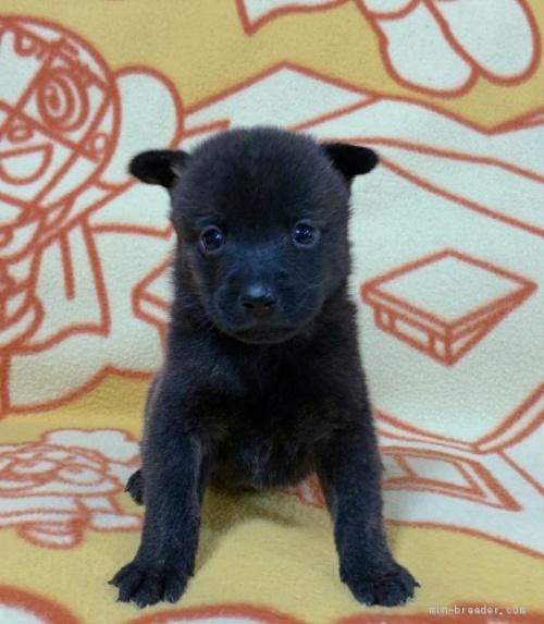 ミックスの子犬(ID:1241011258)の2枚目の写真/更新日:2020-09-19