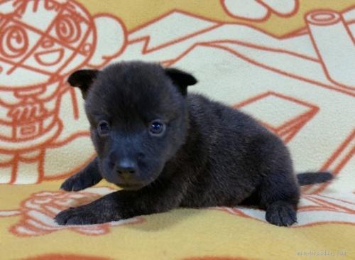ミックスの子犬(ID:1241011258)の3枚目の写真/更新日:2020-09-19