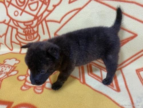 ミックスの子犬(ID:1241011258)の4枚目の写真/更新日:2020-09-19