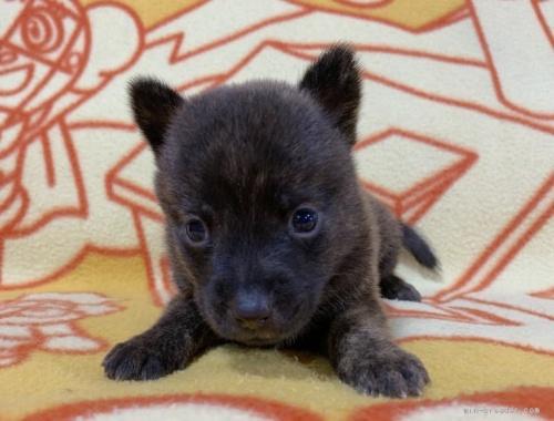 ミックスの子犬(ID:1241011259)の1枚目の写真/更新日:2020-09-19