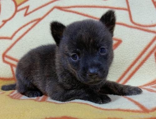 ミックスの子犬(ID:1241011259)の2枚目の写真/更新日:2020-09-19