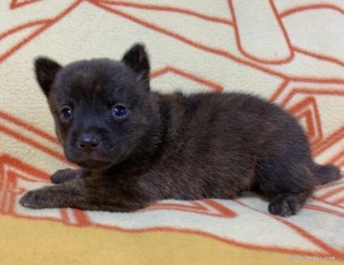 ミックスの子犬(ID:1241011259)の3枚目の写真/更新日:2020-09-19