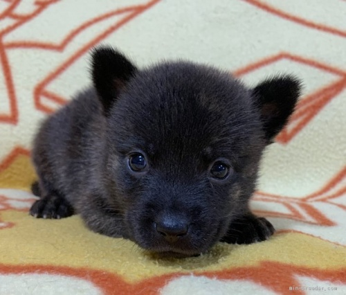 ミックスの子犬(ID:1241011260)の1枚目の写真/更新日:2020-09-19