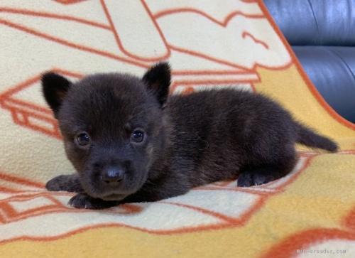 ミックスの子犬(ID:1241011260)の2枚目の写真/更新日:2020-09-19