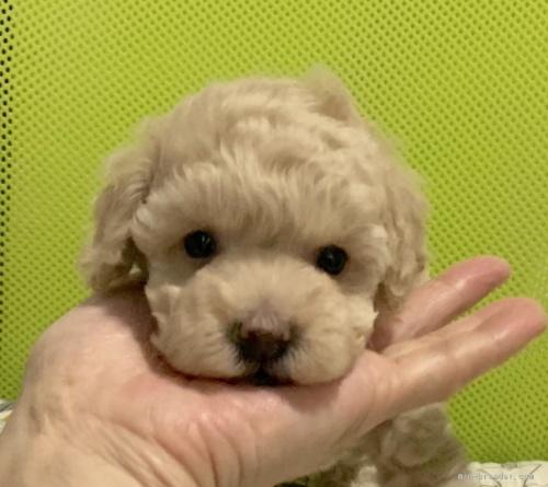 トイプードルの子犬(ID:1241011263)の1枚目の写真/更新日:2020-09-25