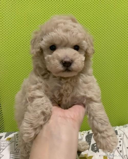 トイプードルの子犬(ID:1241011263)の3枚目の写真/更新日:2020-09-25