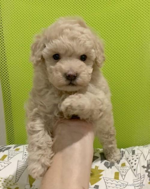 トイプードルの子犬(ID:1241011263)の4枚目の写真/更新日:2020-09-25