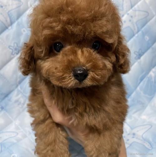 トイプードルの子犬(ID:1241011264)の3枚目の写真/更新日:2021-03-29