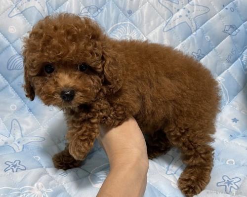 トイプードルの子犬(ID:1241011266)の3枚目の写真/更新日:2021-01-19