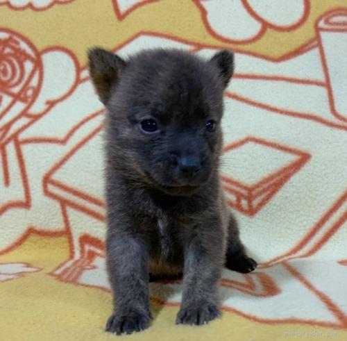 ミックスの子犬(ID:1241011273)の1枚目の写真/更新日:2020-09-19