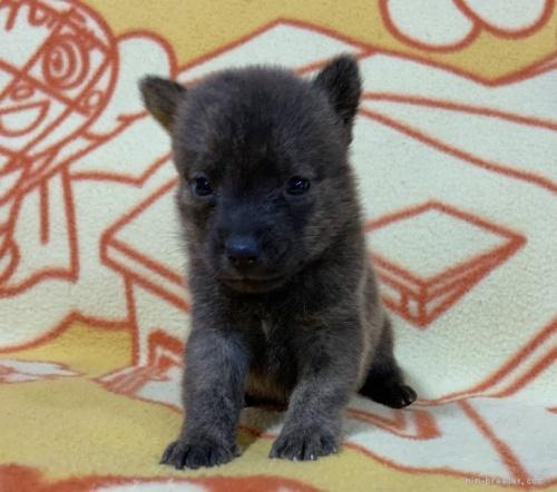 ミックスの子犬(ID:1241011273)の2枚目の写真/更新日:2020-09-19