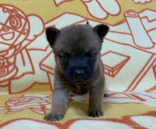 ミックスの子犬(ID:1241011275)の1枚目の写真/更新日:2020-09-19