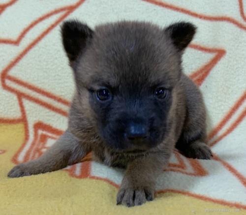 ミックスの子犬(ID:1241011275)の2枚目の写真/更新日:2020-09-19