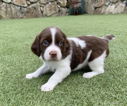 ブリタニースパニエルの子犬(ID:1241011276)の1枚目の写真/更新日:2020-10-24