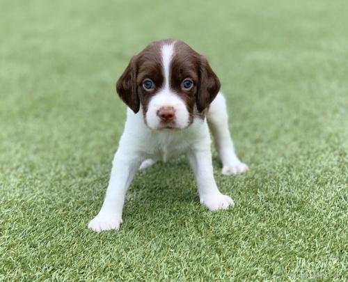 ブリタニースパニエルの子犬(ID:1241011276)の2枚目の写真/更新日:2020-10-24