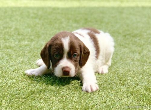 ブリタニースパニエルの子犬(ID:1241011277)の1枚目の写真/更新日:2020-10-24