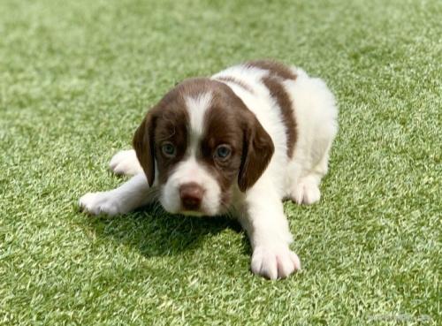 ブリタニースパニエルの子犬(ID:1241011277)の2枚目の写真/更新日:2020-10-24