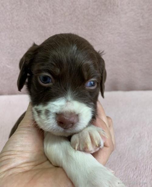 ブリタニースパニエルの子犬(ID:1241011280)の1枚目の写真/更新日:2020-10-24