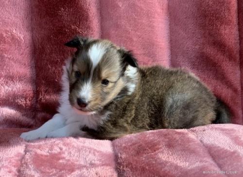 シェットランドシープドッグの子犬(ID:1241011286)の1枚目の写真/更新日:2021-01-19