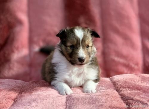 シェットランドシープドッグの子犬(ID:1241011286)の2枚目の写真/更新日:2021-01-19