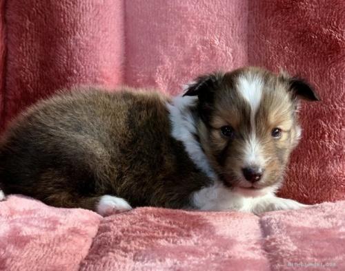 シェットランドシープドッグの子犬(ID:1241011286)の3枚目の写真/更新日:2021-01-19